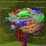 大脑的三维图谱